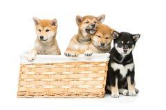 在篮子的美丽的shiba inu小狗 免版税库存照片