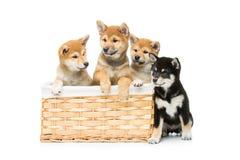 在篮子的美丽的shiba inu小狗 库存照片