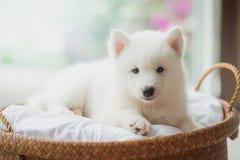 在篮子的西伯利亚爱斯基摩人小狗 免版税库存图片