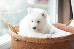在篮子的西伯利亚爱斯基摩人小狗 库存图片