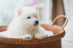在篮子的西伯利亚爱斯基摩人小狗 库存照片