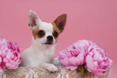 在篮子的逗人喜爱的奇瓦瓦狗狗 免版税库存照片