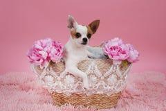 在篮子的逗人喜爱的奇瓦瓦狗狗 库存图片