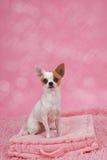 在篮子的逗人喜爱的奇瓦瓦狗狗 免版税库存图片