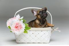 在篮子的逗人喜爱的法国牛头犬小狗 免版税库存图片
