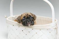 在篮子的逗人喜爱的法国牛头犬小狗 免版税库存照片