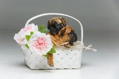 在篮子的逗人喜爱的法国牛头犬小狗 库存照片
