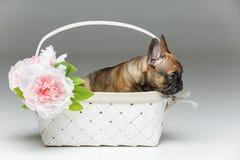 在篮子的逗人喜爱的法国牛头犬小狗 图库摄影