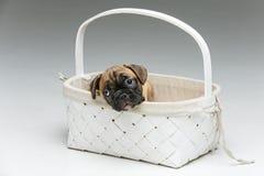 在篮子的逗人喜爱的法国牛头犬小狗 免版税图库摄影
