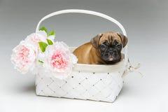 在篮子的逗人喜爱的法国牛头犬小狗 库存图片