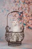 在篮子的逗人喜爱的白色猫 免版税图库摄影