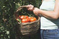在篮子的采摘蕃茄 库存照片