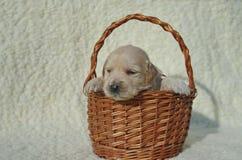 在篮子的金毛猎犬小狗 库存照片