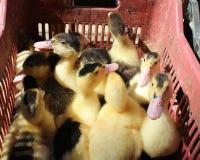 在篮子的鸭子 免版税库存图片