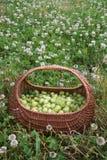 在篮子的鹅莓 库存照片