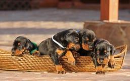 在篮子的4只短毛猎犬小狗 免版税库存图片