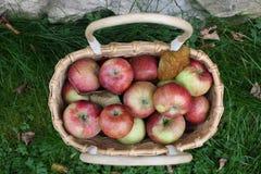 在篮子的水多,成熟苹果在绿草背景  免版税库存图片