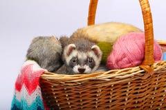 在篮子的黑貂白鼬 免版税库存图片