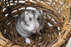在篮子的仓鼠 免版税图库摄影