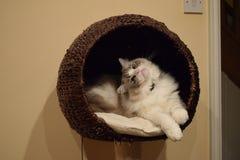 在篮子的Ragdoll小猫 免版税库存照片