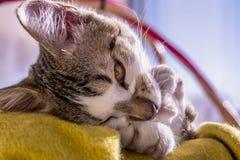 在篮子褐色的猫画象注视欧洲白色面孔 免版税库存图片