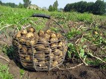 在篮子2的土豆 图库摄影