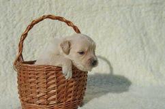 在篮子2的金毛猎犬小狗 图库摄影
