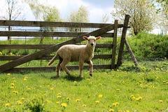 在篱芭前面的幼小羊羔 库存图片