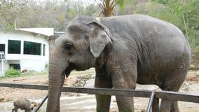 在篱芭后的印度象在动物园 股票录像