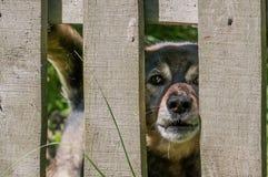 在篱芭后的可怜的狗由所有者守卫了 宠物服务 免版税库存图片