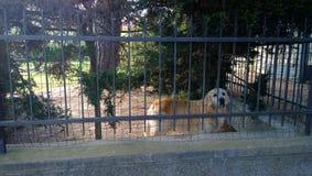 在篱芭后的哀伤的狗 免版税库存照片