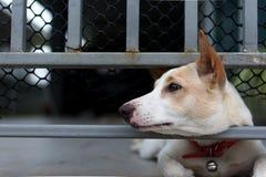 在篱芭后的失去的狗 免版税图库摄影