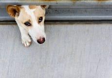 在篱芭后的失去的狗 免版税库存图片