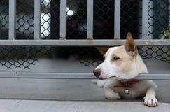 在篱芭后的失去的狗 免版税库存照片