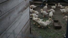 在篱芭后的家养的鸭子 股票视频
