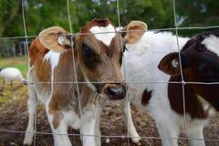 在篱芭后的小牛在农场 免版税库存图片