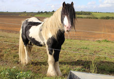 在篱芭后的小马 免版税库存照片