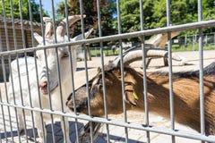 在篱芭后的山羊 免版税图库摄影