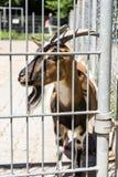 在篱芭后的山羊 库存照片