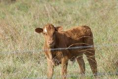 在篱芭后的幼小小牛 免版税图库摄影