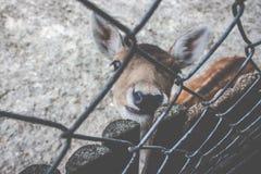 在篱芭后的感兴趣的鹿 图库摄影