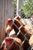 在篱芭后的母鸡室外在农场 免版税库存图片