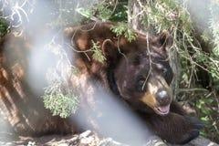 在篱芭后的熊在森林 免版税图库摄影