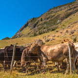 在篱芭后的牛在乡下 免版税库存图片