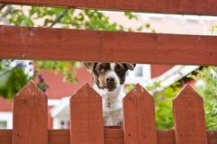在篱芭后的狗 免版税库存图片