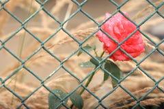 在篱芭后的罗斯 库存照片