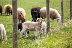 在篱芭后的羊羔 库存图片