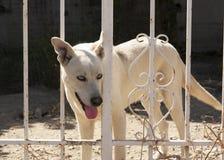 在篱芭后的逗人喜爱的狗 免版税图库摄影