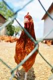 在篱芭后的鸡在传统自由放养的家禽场 图库摄影