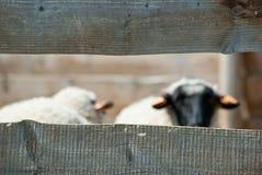 在篱芭后的绵羊 图库摄影